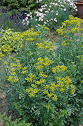 Common Rue (Ruta graveolens) at Salisbury Greenhouse and Landscaping