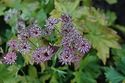 Abbey Road Masterwort (Astrantia major 'Abbey Road') at Salisbury Greenhouse and Landscaping