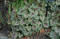 Green Spice Coral Bells (Heuchera 'Green Spice') at Salisbury Greenhouse and Landscaping