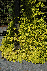 Golden Hops (Humulus lupulus 'Aureus') at Salisbury Greenhouse and Landscaping