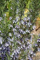 Rosemary (Rosmarinus officinalis) at Salisbury Greenhouse and Landscaping