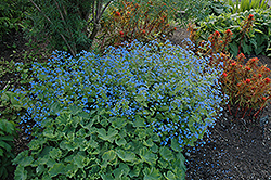 Hadspen Cream Bugloss (Brunnera macrophylla 'Hadspen Cream') at Salisbury Greenhouse and Landscaping