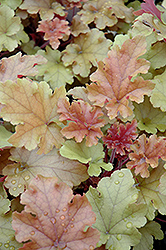 Marmalade Coral Bells (Heuchera 'Marmalade') at Salisbury Greenhouse and Landscaping