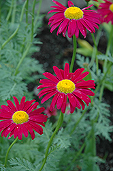 Robinson's Red Painted Daisy (Tanacetum coccineum 'Robinson's Red') at Salisbury Greenhouse and Landscaping