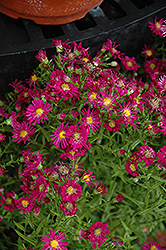 Winston Churchill Aster (Aster novi-belgii 'Winston Churchill') at Salisbury Greenhouse and Landscaping
