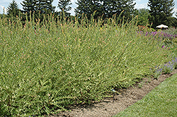 Flamingo Willow (Salix integra 'Flamingo') at Salisbury Greenhouse and Landscaping