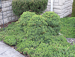 Dwarf Japgarden Juniper (Juniperus procumbens 'Nana') at Salisbury Greenhouse and Landscaping