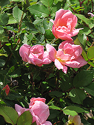 Rainbow Knock Out® Rose (Rosa 'Radcor') at Salisbury Greenhouse and Landscaping