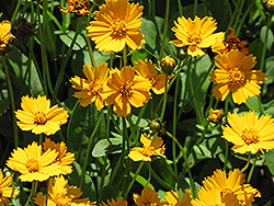 Dwarf Tickseed (Coreopsis auriculata 'Nana') at Salisbury Greenhouse and Landscaping