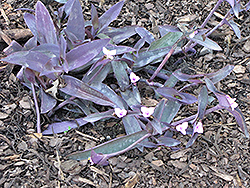 Wandering Jew (Tradescantia zebrina) at Salisbury Greenhouse and Landscaping