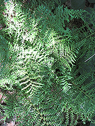 Male Fern (Dryopteris filix-mas) at Salisbury Greenhouse and Landscaping