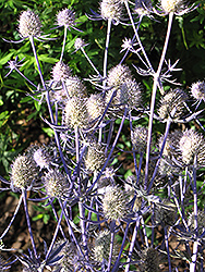 Jade Frost Variegated Sea Holly (Eryngium planum 'Jade Frost') at Salisbury Greenhouse and Landscaping
