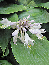 Halcyon Hosta (Hosta 'Halcyon') at Salisbury Greenhouse and Landscaping