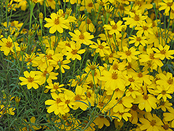 Zagreb Tickseed (Coreopsis verticillata 'Zagreb') at Salisbury Greenhouse and Landscaping
