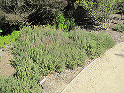 Creeping Germander (Teucrium chamaedrys) at Salisbury Greenhouse and Landscaping