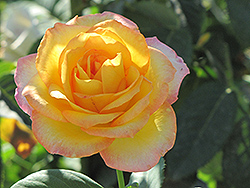 Gold Medal Rose (Rosa 'Gold Medal') at Salisbury Greenhouse and Landscaping