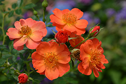 Oso Easy® Paprika Rose (Rosa 'ChewMayTime') at Salisbury Greenhouse and Landscaping