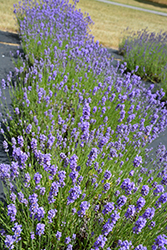 Hidcote Blue Lavender (Lavandula angustifolia 'Hidcote Blue') at Salisbury Greenhouse and Landscaping