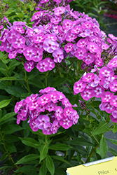 Laura Garden Phlox (Phlox paniculata 'Laura') at Salisbury Greenhouse and Landscaping