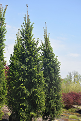 Christina Columnar Spruce (Picea abies 'Christina') at Salisbury Greenhouse and Landscaping
