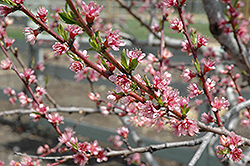 Redhaven Peach (Prunus persica 'Redhaven') at Salisbury Greenhouse and Landscaping