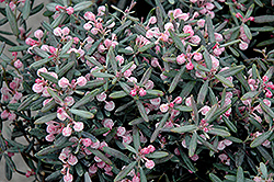 Blue Ice Bog Rosemary (Andromeda polifolia 'Blue Ice') at Salisbury Greenhouse and Landscaping