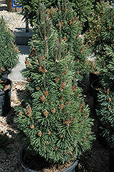 Columnar Mugo Pine (Pinus mugo 'Columnaris') at Salisbury Greenhouse and Landscaping