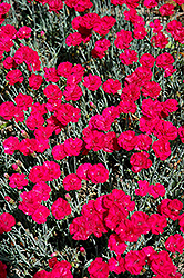 Frosty Fire Pinks (Dianthus 'Frosty Fire') at Salisbury Greenhouse and Landscaping