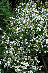 Festival™ Star Baby's Breath (Gypsophila paniculata 'Festival Star') at Salisbury Greenhouse and Landscaping