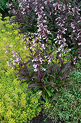 Dark Towers Beard Tongue (Penstemon 'Dark Towers') at Salisbury Greenhouse and Landscaping
