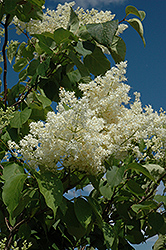 Ivory Silk Tree Lilac (tree form) (Syringa reticulata 'Ivory Silk (tree form)') at Salisbury Greenhouse and Landscaping