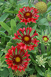 Commotion Frenzy Blanket Flower (Gaillardia x grandiflora 'Commotion Frenzy') at Salisbury Greenhouse and Landscaping