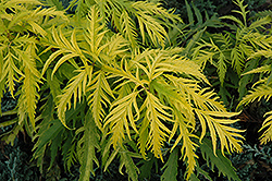 Sutherland Gold Elder (Sambucus racemosa 'Sutherland Gold') at Salisbury Greenhouse and Landscaping