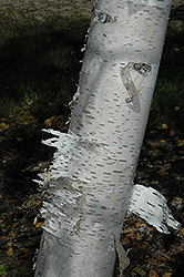 Paper Birch (Betula papyrifera) at Salisbury Greenhouse and Landscaping