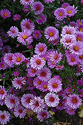 Purple Dome Aster (Aster novae-angliae 'Purple Dome') at Salisbury Greenhouse and Landscaping