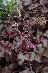 Melting Fire Coral Bells (Heuchera 'Melting Fire') at Salisbury Greenhouse and Landscaping