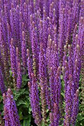 East Friesland Sage (Salvia nemorosa 'East Friesland') at Salisbury Greenhouse and Landscaping