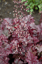 Amethyst Mist Coral Bells (Heuchera 'Amethyst Mist') at Salisbury Greenhouse and Landscaping