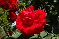 Ramblin' Red Rose (Rosa 'Ramblin' Red') at Salisbury Greenhouse and Landscaping