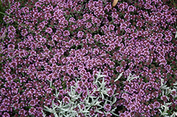 Pink Chintz Creeping Thyme (Thymus praecox 'Pink Chintz') at Salisbury Greenhouse and Landscaping