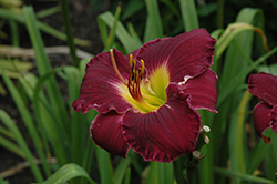 Bela Lugosi Daylily (Hemerocallis 'Bela Lugosi') at Salisbury Greenhouse and Landscaping