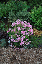 Pixie Twinkle Garden Phlox (Phlox paniculata 'Pixie Twinkle') at Salisbury Greenhouse and Landscaping