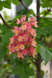Fort McNair Red Horse Chestnut (Aesculus x carnea 'Fort McNair') at Salisbury Greenhouse and Landscaping