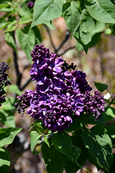 Agincourt Beauty Lilac (Syringa vulgaris 'Agincourt Beauty') at Salisbury Greenhouse and Landscaping