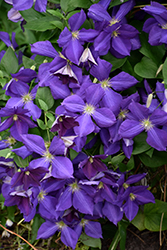 Jackmanii Clematis (Clematis x jackmanii) at Salisbury Greenhouse and Landscaping