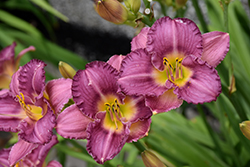 Strutter's Ball Daylily (Hemerocallis 'Strutter's Ball') at Salisbury Greenhouse and Landscaping