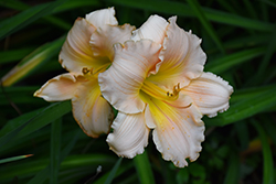 Fairy Tale Pink Daylily (Hemerocallis 'Fairy Tale Pink') at Salisbury Greenhouse and Landscaping