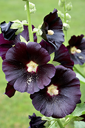 Black Hollyhock (Alcea rosea 'Nigra') at Salisbury Greenhouse and Landscaping