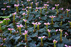 Hot Lips Turtlehead (Chelone lyonii 'Hot Lips') at Salisbury Greenhouse and Landscaping
