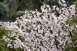 Nanking Cherry (Prunus tomentosa) at Salisbury Greenhouse and Landscaping